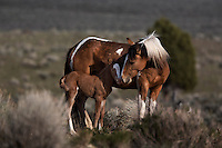 A mustang mare nuzzles her one day old foal in South Steens in Oregon.<br />