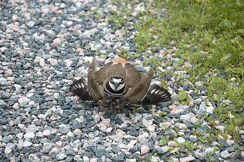 Killdeer demonstrating aggressive protective action to protect nest, Charadrius vociferus, migratory plover bird