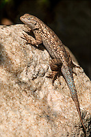 425900009 a wild great basin fence lizard sceloporus occidentalis longipes sits on a rock by piru creek los angeles county california