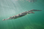 Gardens of the Queen, Cuba; an American Crocodile swimming underwater with sun rays coming in from above