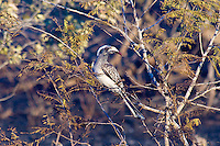 Grey Hornbill, Kruger NP, SA