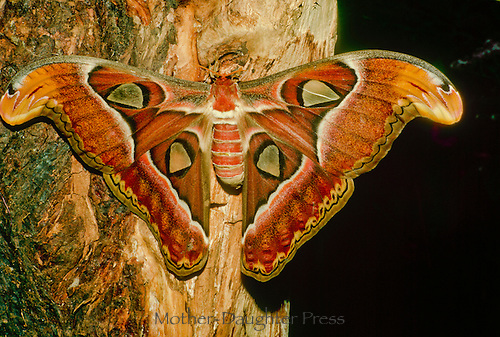Atlas Moth on tree