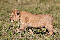 Chubby young lion cub walking in profile across short grass in the Masai Mara Reserve, Kenya, Africa  (photo by Wildlife Photographer Matt Considine)