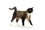 Snowshoe Cat - Male - Walking