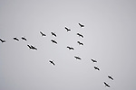 A flock of sandhill cranes flying in an overcast sky, Denali National Park, Alaska, USA