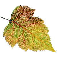 FALL FOLIAGE: LEAF VEINS<br /> Ninebark (Rosaceae Physocarpus capitatus)<br /> In the autumn, trees stop photosynthesis. As the green chlorophyll disappears from the leaves, yellow, orange and red become visible.