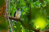 Cryptic Forest Falcon (Micrastur mintoni)