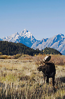 Moose, Alces alces, bull with teton range in background, Grand Teton NP,Wyoming, September 2005