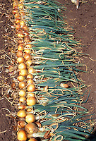 Spanish Yellow Onions harvested from garden, gold yellow onions, with leaf tops and roots showing, lying on ground, dug up