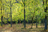 Copse of ash trees on Via Aldo Moro, Chianti, Tuscany, Italy