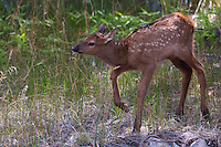 The a young elk (Cervus canadensis) calf has to learn first how to stand and walk with the long appendages its been given. Not a simple task!