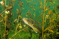 Walleye in weedy cover<br />