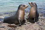 South Plazas Island, Galapagos, Ecuador; two young Galapagos Sea Lions (Zalophus wollebaeki) pose for a picture on the volcanic rocks that double as their rookery , Copyright © Matthew Meier, matthewmeierphoto.com All Rights Reserved