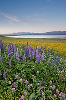 """Wildflowers at Lake Tahoe 2""- These wildflowers were photographed in the early morning at Lake Forest Beach Park, Lake Tahoe."