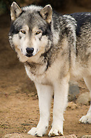 694920018 a captive male gray wolf dakota canis lupus at the wildlife waystation wildlife recovery and care facility in southern california