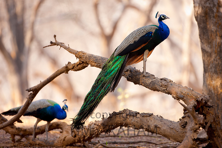 Pair of peacocks, national bird of India, Indian Pavo, in Ranthambhore National Park, Rajasthan, Northern India RESERVED USE - NOT FOR DOWNLOAD -  FOR USE CONTACT TIM GRAHAM