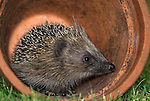 Hedgehog, Erinaceus europaeus, young about 4 months old, adult, in terracotta pot in garden.United Kingdom....