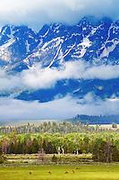 Grazing Elk, Grand  Teton Landscape