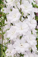 Delphinium 'Ailsa' tall upright perennial with white flowers