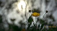 Bush poppies, Fern Creek Trail