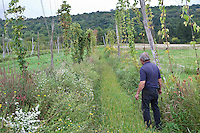 A farmer walks in is hop farm (hop yard) in Munnsville, NY, Thursday September 12, 2013. Used primarily as a flavoring and stability agent in beer, hops are the female flowers (also called seed cones or strobiles) of the hop plant.