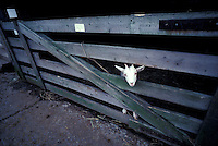 Lone billy goat stick head through wooden fence at stockyard holding pen