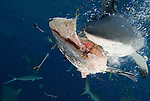 Grey Reef shark at North Horn with fish head bait in mouth.Carcharhinus amblyrhynchos
