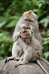 Monkey Forest, Ubud, Bali, Indonesia; a pair of crab-eating macaque (Macaca fascicularis) monkeys groom one another while sitting on top of a stone directional sign in the sanctuary
