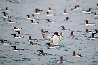 Common murre spreads its wings before taking flight on the waters of Prince William Sound, southcentral, Alaska.