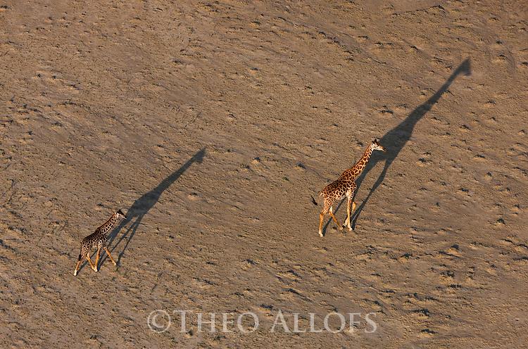 Kenya, Rift Valley,  giraffes walking shore of Lake Magadi