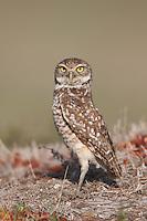 Burrowing Owl (Athene cunicularia) standing near its burrow