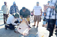 Fishermen butcher a  Butterfly Stingray at the Santa Monica Pier on Wednesday, May 30, 2012.