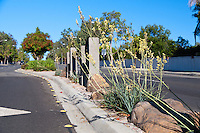 "A view looking down the median on the western side of the Grand/Longview intersection.  Rocks and flowering plants (yellow yuccas - Hesperaloe parviflora) are visible. This was part of the 2015 rebuild of the Grand Avenue and Longview Drive intersection for Diamond Bar's 2015 ""Grand Avenue Beautification"" project, landscape architecture for the project was by David Volz Design."