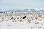 Grizzly 399 leads her two cubs across the snowy sageflats in Grand Teton National Park, Wyoming.