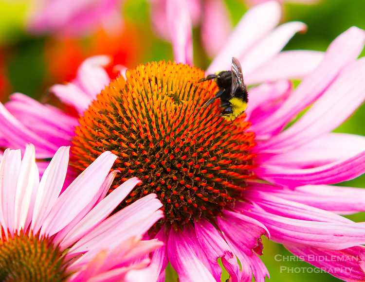 Gift card photo of a bumble bee is collecting pollen from a purple coneflower (Echinacea purpurea) in a macro photo in late summer.