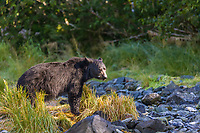 Black bear feeds on Pink salmon along a stream draining into the waters of Prince William Sound, Alaska.