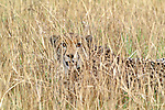 Cheetah, Phinda Resource Reserve, South Africa