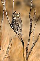Great Horned Owl at Bitter Lake NWR