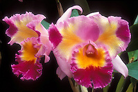 Cattleya orchid splash petal peloric type Bc. Brassolaeliocattleya Platinum sun showing two several flowers in three tricolors, pink, purple, yellow