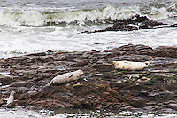 Two adult Harbor seals rest on the rocky outcrops at Bean Hollow State Beach, ignoring the juvenile struggling to join them.