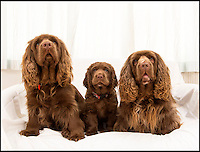 BNPS.co.uk (01202 558833)<br /> Pic: PhilYeomans/BNPS<br /> <br /> Van Bennett's Sussex Spaniel puppy Beryl with her mum and dad.<br /> <br /> Whisper it quietly...but this puppy could be a lifeline for one of Britains rarest native dog breeds.Only 49 Sussex Spaniels were registered last year with the kennel club - making the ancient British breed rarer than White Rhino's, Tigers or even Giant Panda's. <br /> <br /> Plucky British dog breeds like these adorable Skye Terriers, Sussex Spaniels and Otterhounds are more endangered than the Giant Panda due to the modern infatuation with fashionable crossbreeds and foreign invaders.<br /> <br /> The unprecedented rise in popularity of 'handbag dogs' has put many traditional breeds on the brink of extinction. <br /> <br /> The bottom three in last years KC figures are Skye Terriers(28), Otterhounds(40) and Sussex Spaniels(49) making these adorable puppies a vital lifeline for their historic breeds - by contrast over 20,000 French Bulldog's were registered in 2016.