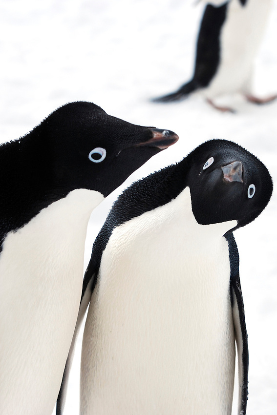 Psst .. listen to this news ..... - Adelie penguins, Cape Denison, Commonwealth Bay