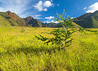 A small tree grows in a vast green field in Lahaina, backed by the mountains of northern Maui.