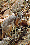 Ring-tailed rock wallaby, Flinders Ranges, Australia