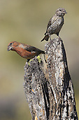 Pair of Red or Common Crossbills (Loxia curvirostra) perched on a branch, Oregon, USA.
