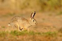 a cottontail rabbit running