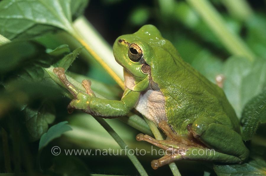 Europäischer Laubfrosch, Laub-Frosch, Frosch, Hyla arborea, European treefrog, common treefrog, Central European treefrog