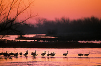 Sandhill cranes at sunrise on the Platte River, Rowe Sanctuary, near Kearney, Nebraska, AGPix_0258.