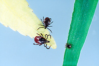 TICKS<br /> Black-Legged Deer Ticks<br /> Larger female and smaller male on yellow leaf, nymph on green leaf (Ixodes scapularis)