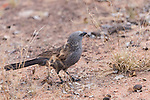 Undara Volcanic National Park, Queensland, Australia; an apostlebird (Struthidea cinerea) foraging for food on the forest floor in the outback
